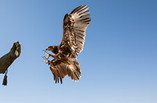 Falconry In The Middle East: What�s The Fascination?